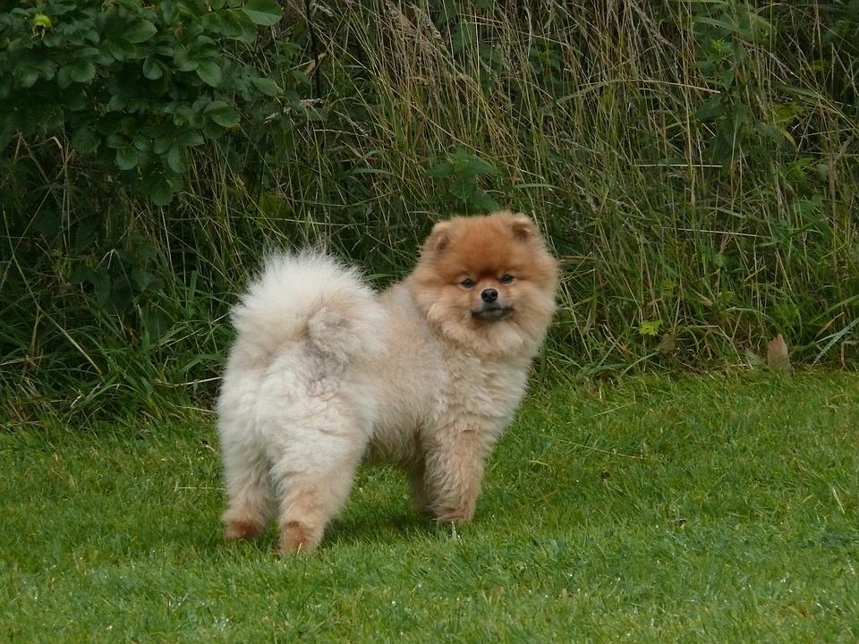 Zwergspitz Pomeranian Hund Kostenloses Foto Auf Pixabay