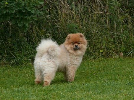 Pomeranian Images Pixabay Download Free Pictures