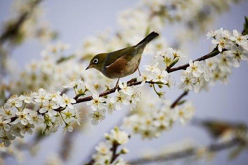 花, ホワイト, 鳥, 春, 支店, ツリー