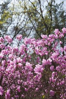 ツツジ, 春の花, ばね山, 自然, 韓国, 花の木, ばね, 4月