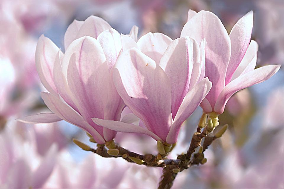 magnolia images pixabay download free pictures