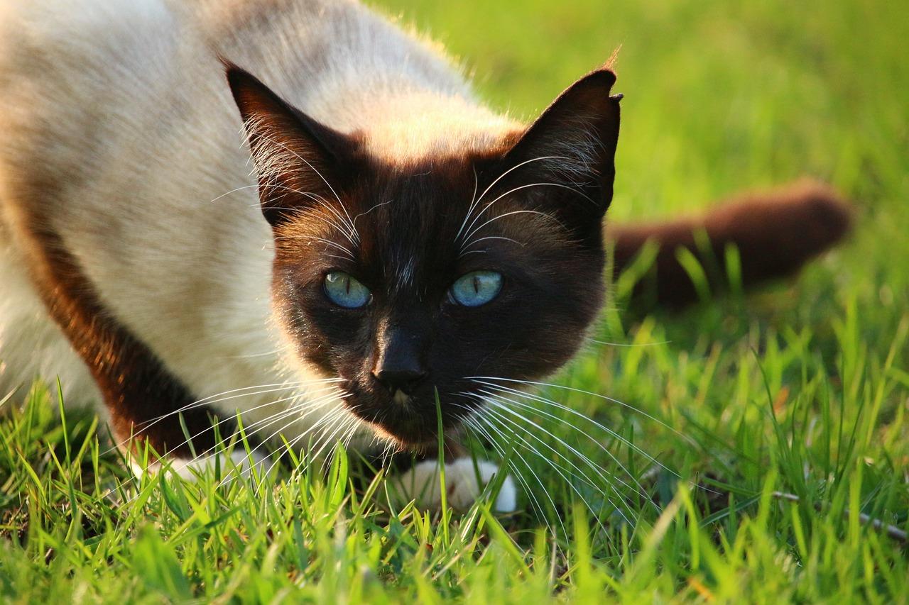 картинки кошек красивые сиамские кошки учись