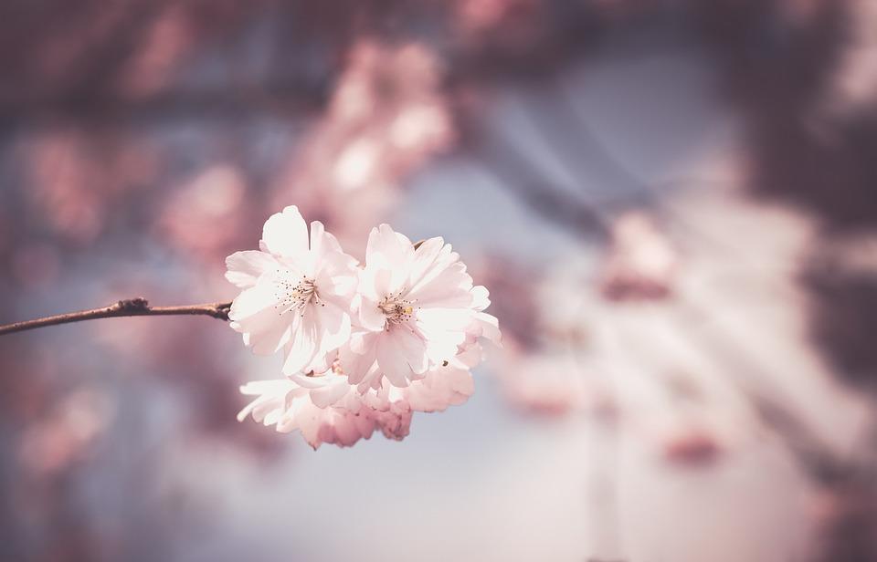 kostenloses foto rosa blume baum bl te fr hling kostenloses bild auf pixabay 1326168. Black Bedroom Furniture Sets. Home Design Ideas