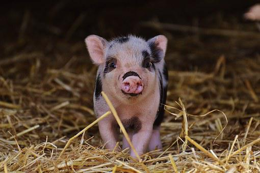 Piglet, Wildpark Poing, Baby, Small Pigs