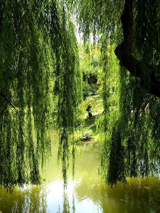 Willow, Tree, Lagoon, Pond, Nature, Water, Willow Tree