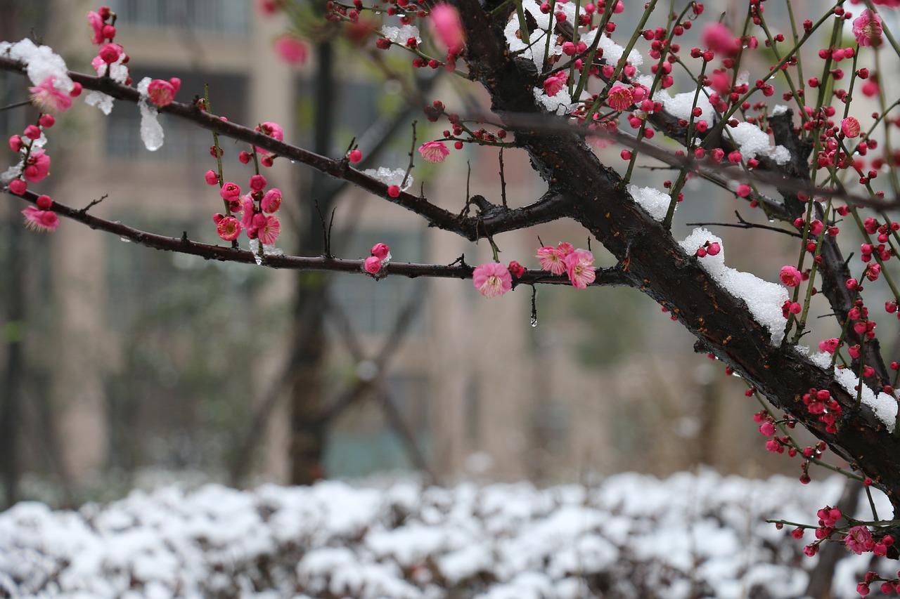 Plum Blossom Snow - Free photo on Pixabay