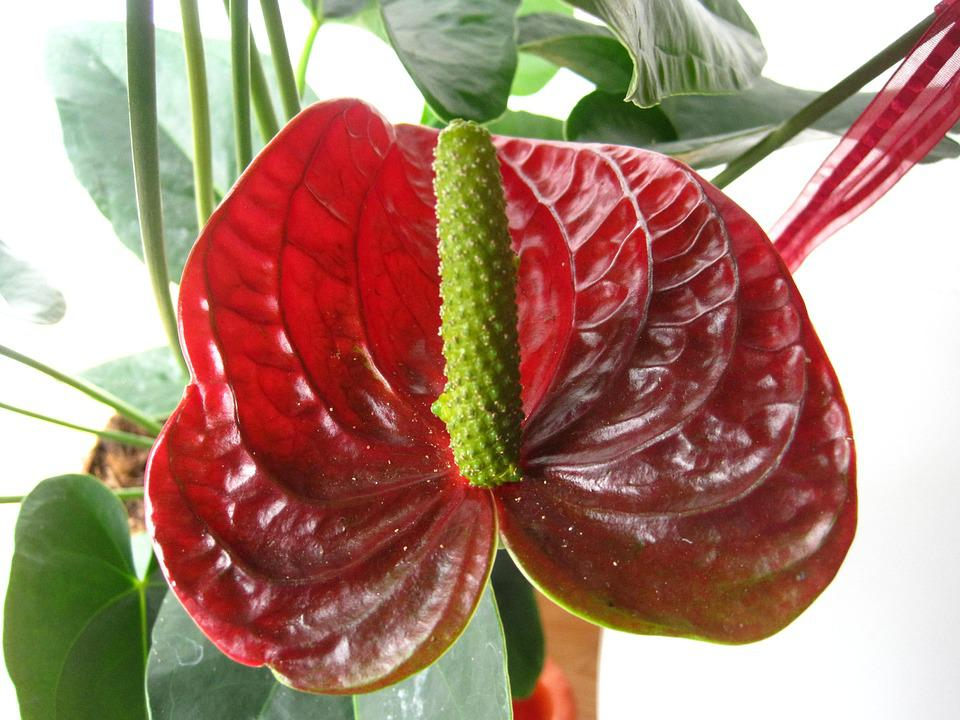 free photo flamingo flower, red, tropical  free image on pixabay, Natural flower