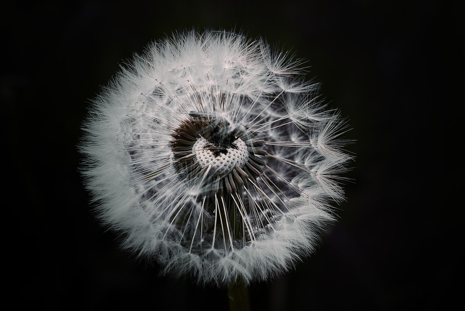 Dandelion Flower Plant Pointed