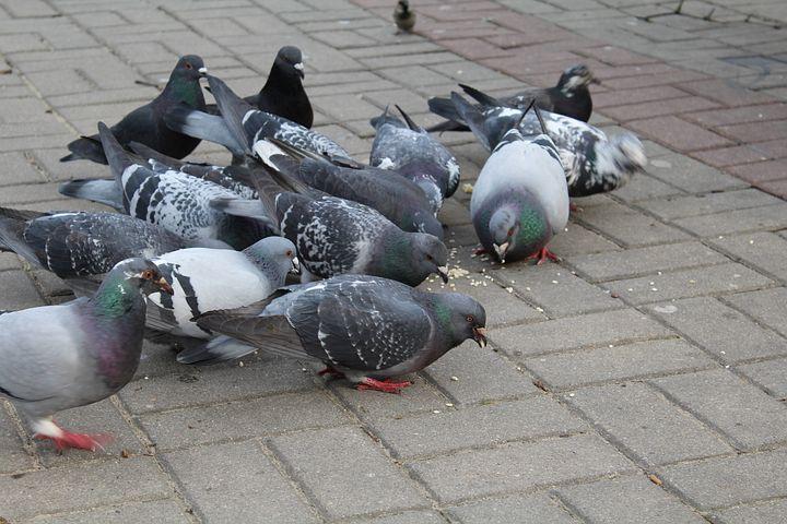 Развитие голубей с картинками