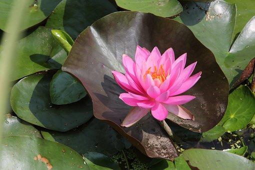 Lotus, Fleurs, Été, Plantes De Bassin