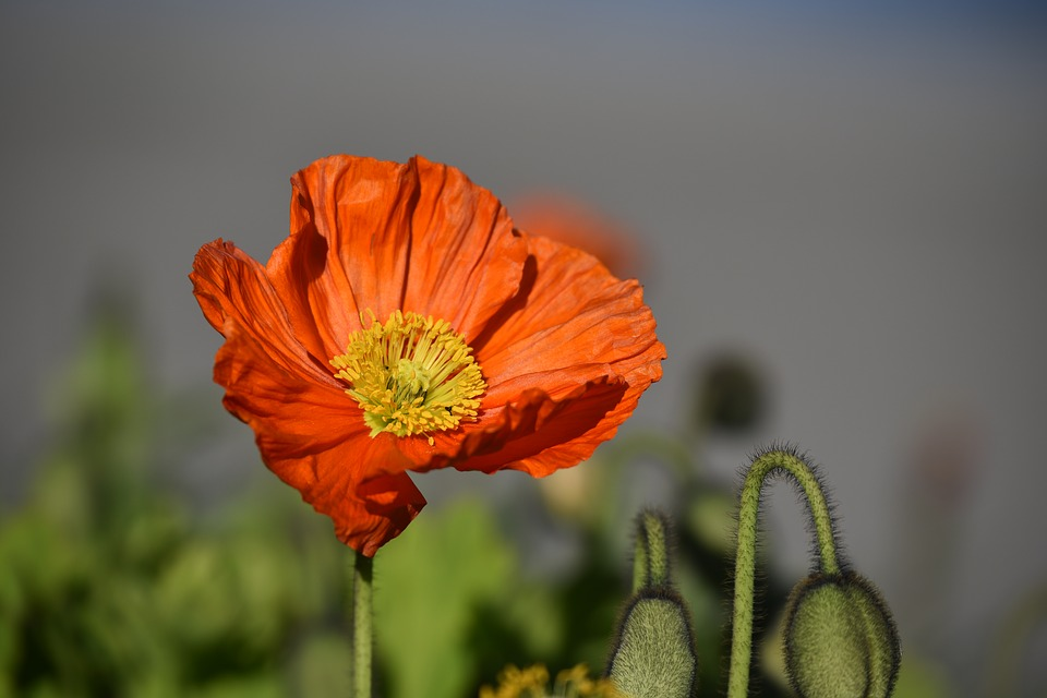 Poppy flower red free photo on pixabay poppy flower red spring blossom bloom red flower mightylinksfo