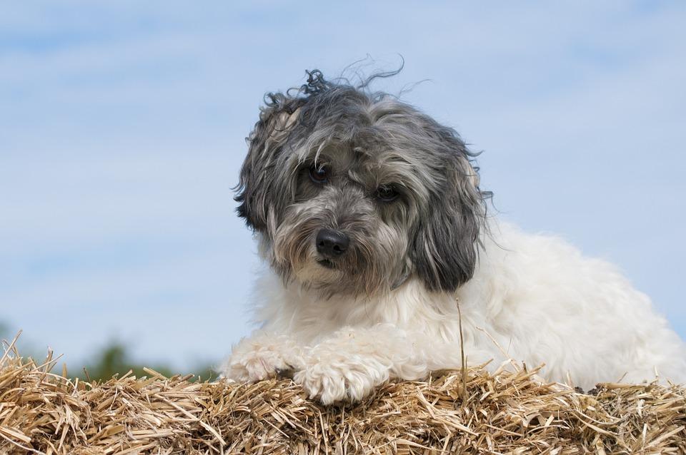 Dog, Lowchen, Laugh, Straw, The Dog Breed