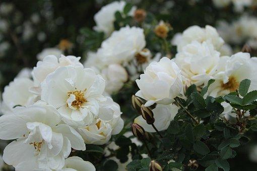 Juhannus, Juhannusruusu, Valkoinen Kukka