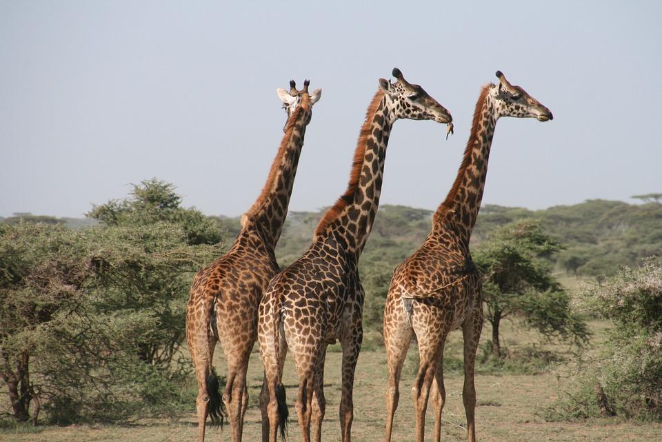 Giraffe, Afrika, Tansania, Wild, Savannah, Tier, Safari