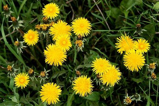 Löwenzahn, Gelb, Blume, Pflanzen, Garten