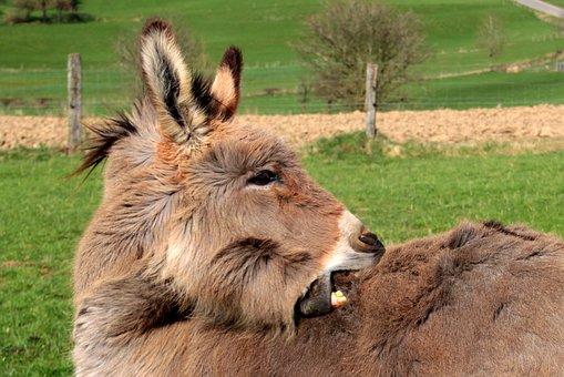 Donkey, Domestic Donkey