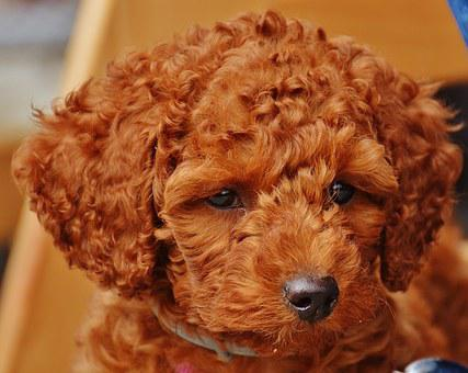 Dog, Poodle, Young Animal, Puppy, Fur