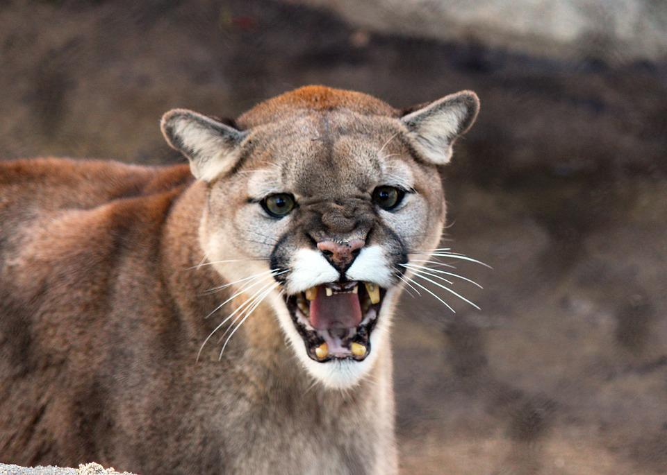 Free photo: Cougar, Cat, Wildlife, Animal - Free Image on Pixabay ...
