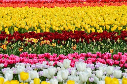 Tulips, Northwest, Washington, Flower