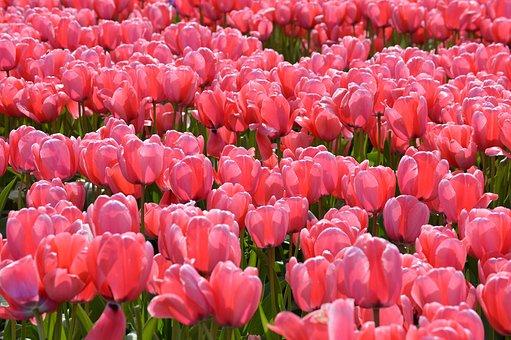 Pink, Red, Tulips, Northwest, Washington