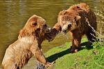 bear, play