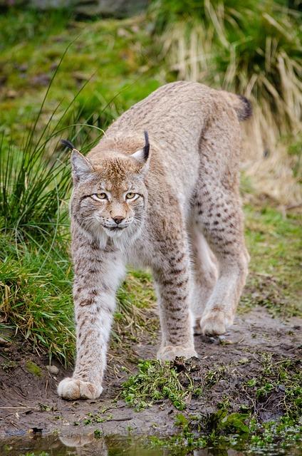 Lynx Feline Mammal Subfamily Of 183 Free Photo On Pixabay