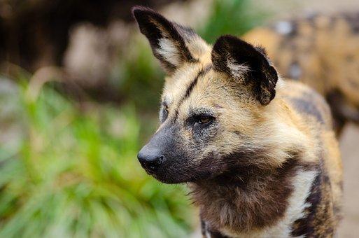 African Wild Dog, Lycaon Pictus, Mammal