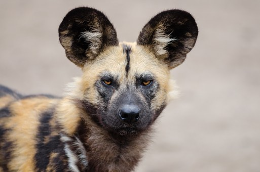 African Wild Dog, Lycaon Pictus