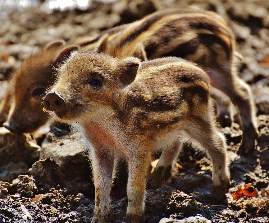 Wild Pigs Little Pig Wildpark Poing Young Animals