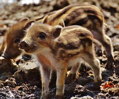 イノシシ, こぶた, Wildpark Poing, 若い動物, ピグレット