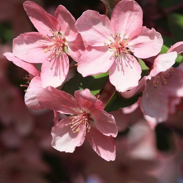boom met roze bloemen