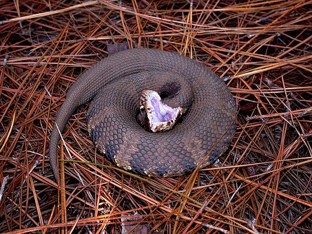 Snake Water Moccasin Viper Crocs Mouth Agg