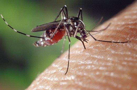 Mosquito Female Aedes Albopictus Human Blo