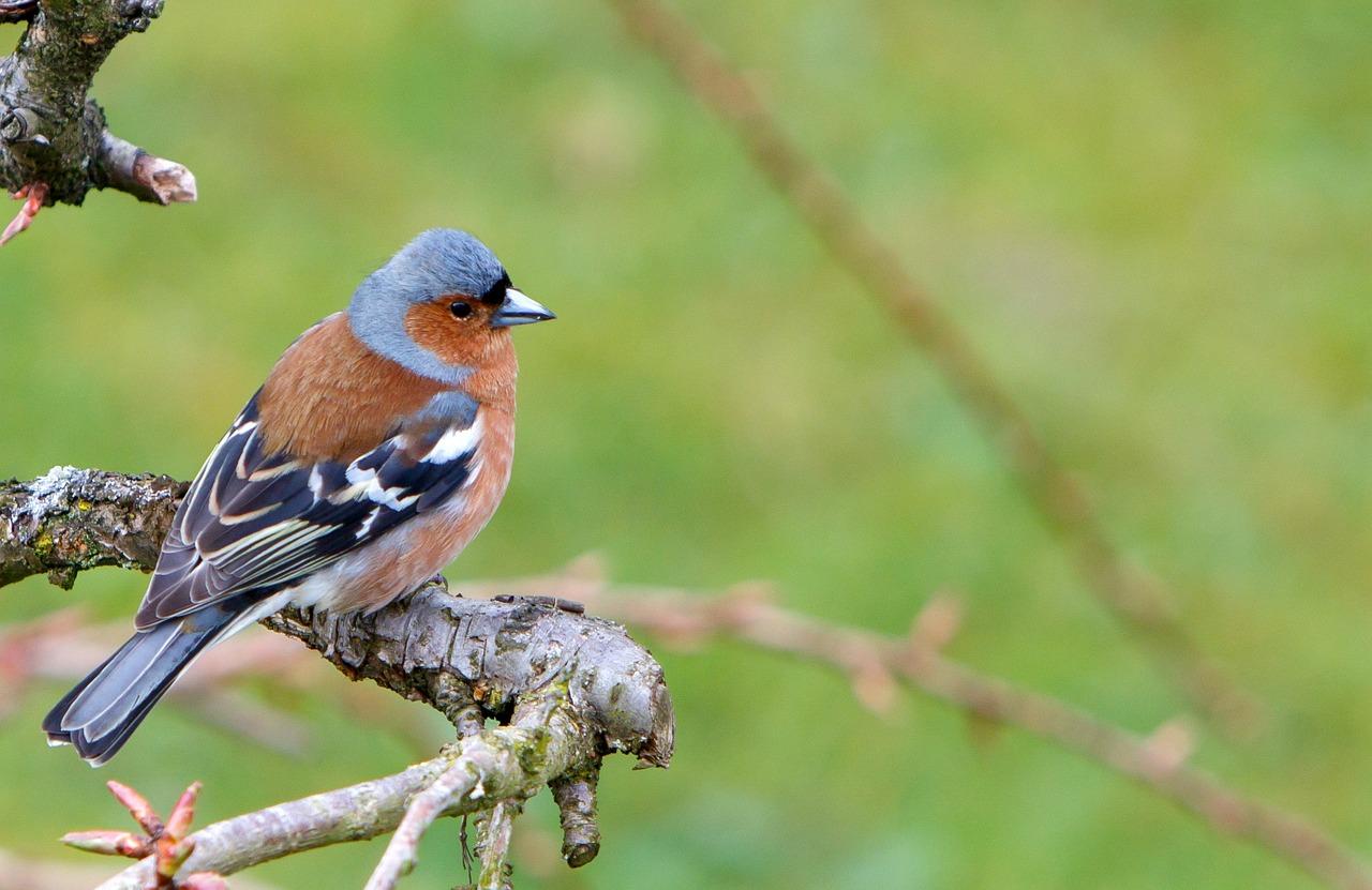поделиться зяблик фото птица тяжело