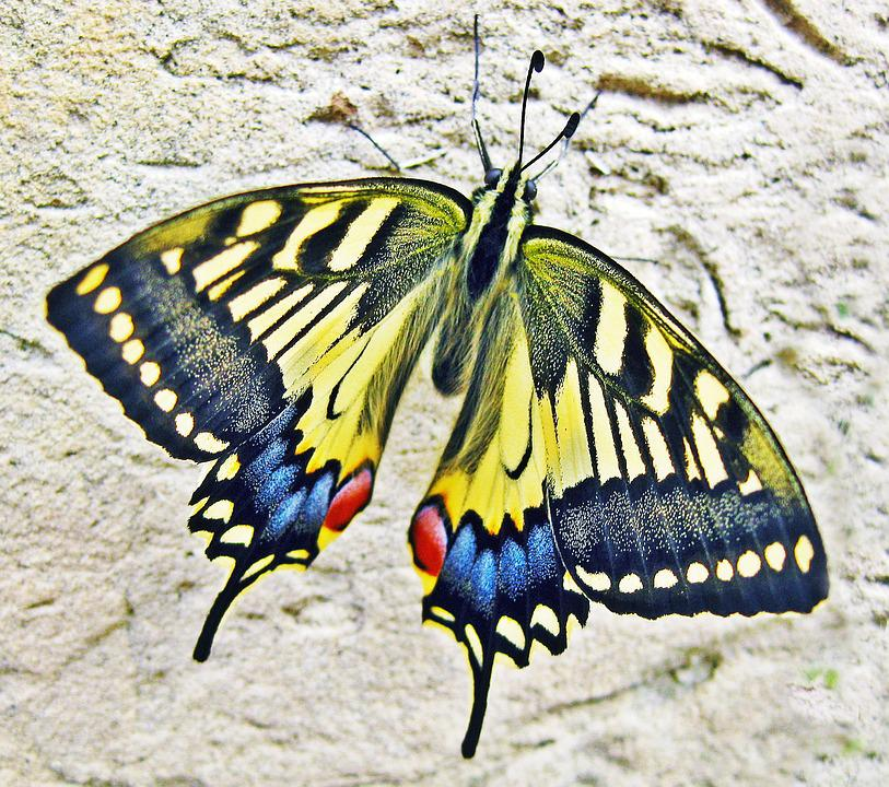 Free Photo Butterfly Swallow Tailed Butterfly Free