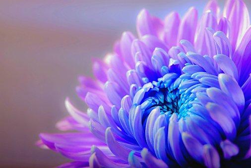 Хризантема, Цветение, Цветение, Цветок