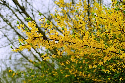 forsythia, flowers  free images on pixabay, Beautiful flower