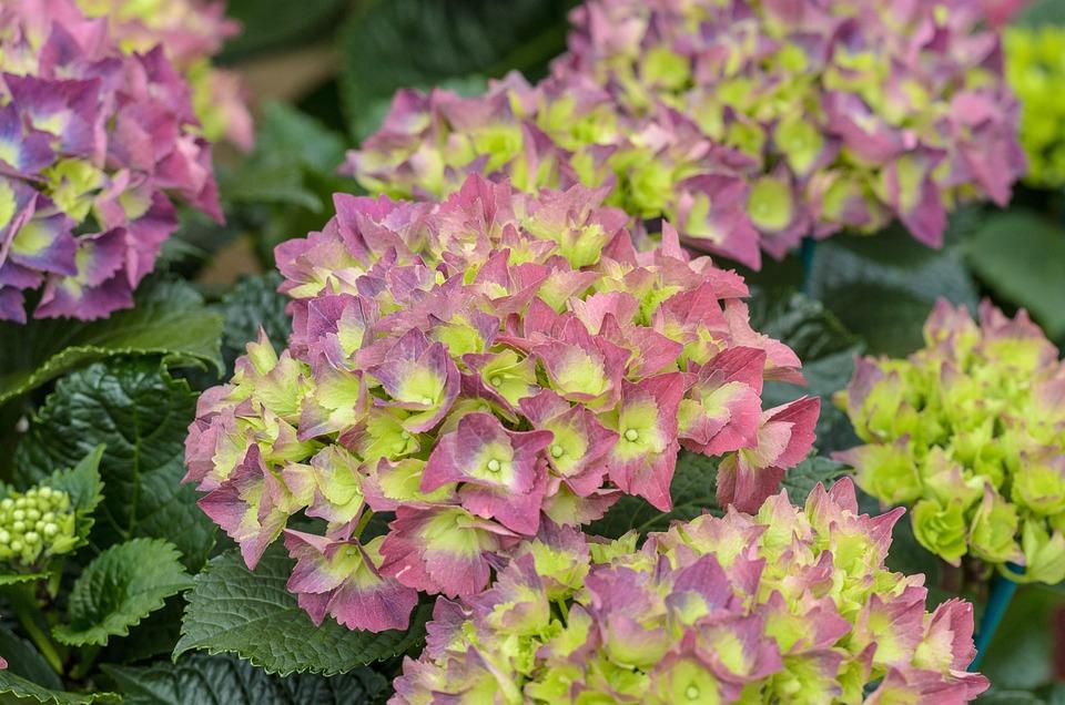 Hydrangea pink green free photo on pixabay hydrangea pink green flower nature flora garden mightylinksfo