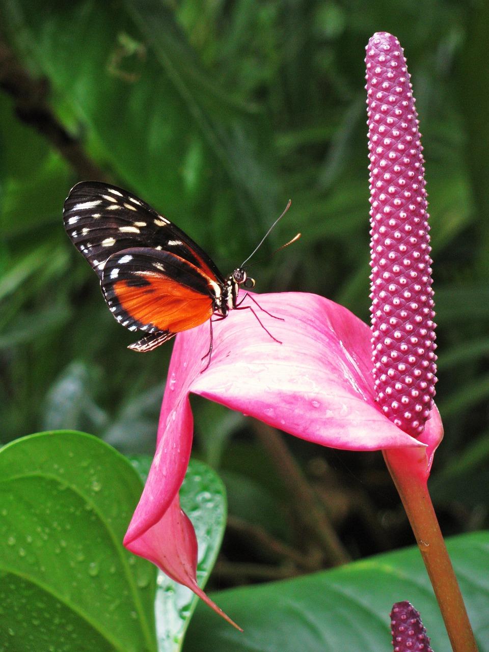 Gay Butterflies Butterfly Weed
