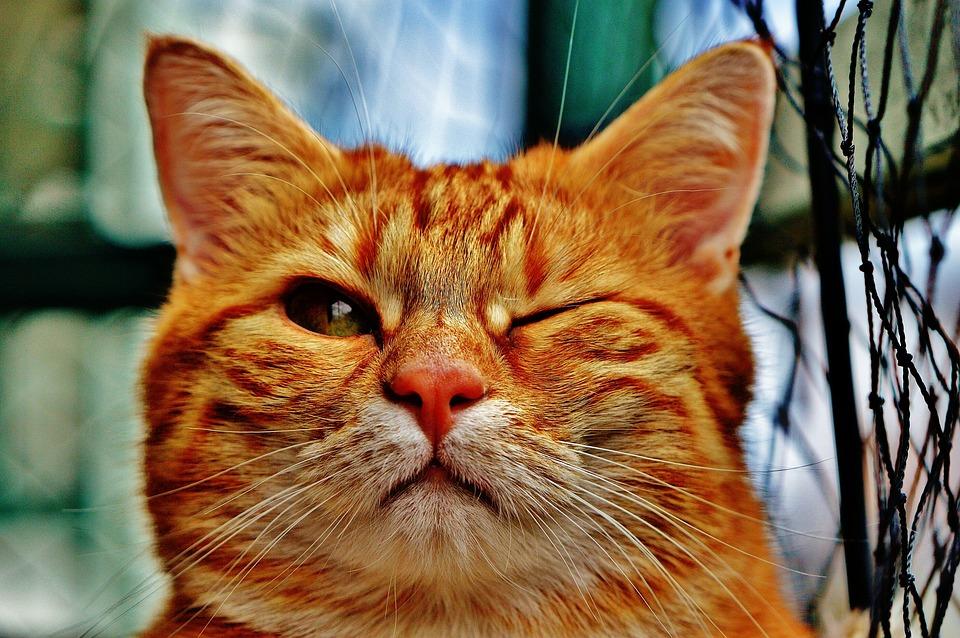 Cat, Wink, Funny, Fur, Animal, Red, Cute
