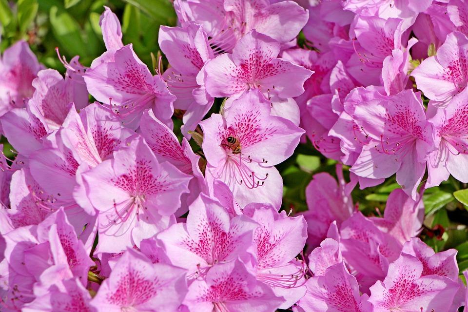 무료 사진: 진달래, 봄, 진달래꽃, 식물, 4월, 꽃, 봄꽃, 자연, 철쭉 - Pixabay의 무료 이미지 - 1334131