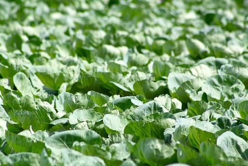 Cabbage, Farm, Food, Agriculture