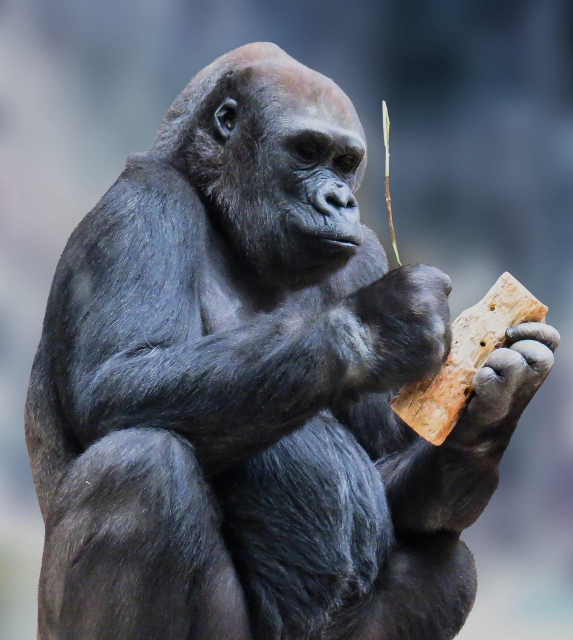 картинки обезьяны горилы цинерарию серебристую
