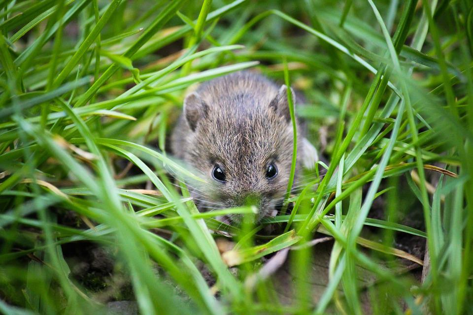 Mouse, Small Animal, Garden, Small, Animal, Cute, House