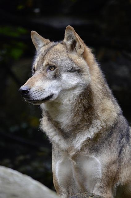 free photo wolf  face  fur  close  wild animal free lion vector grapgics lion vector logo