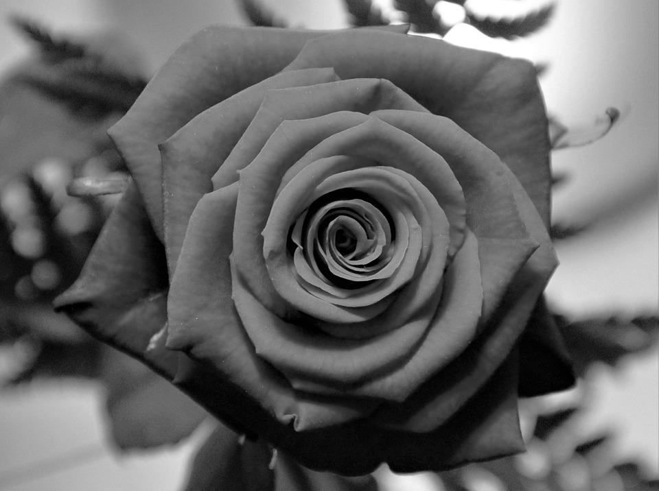 Se Levantó En Blanco Y Negro Rosa Foto Gratis En Pixabay