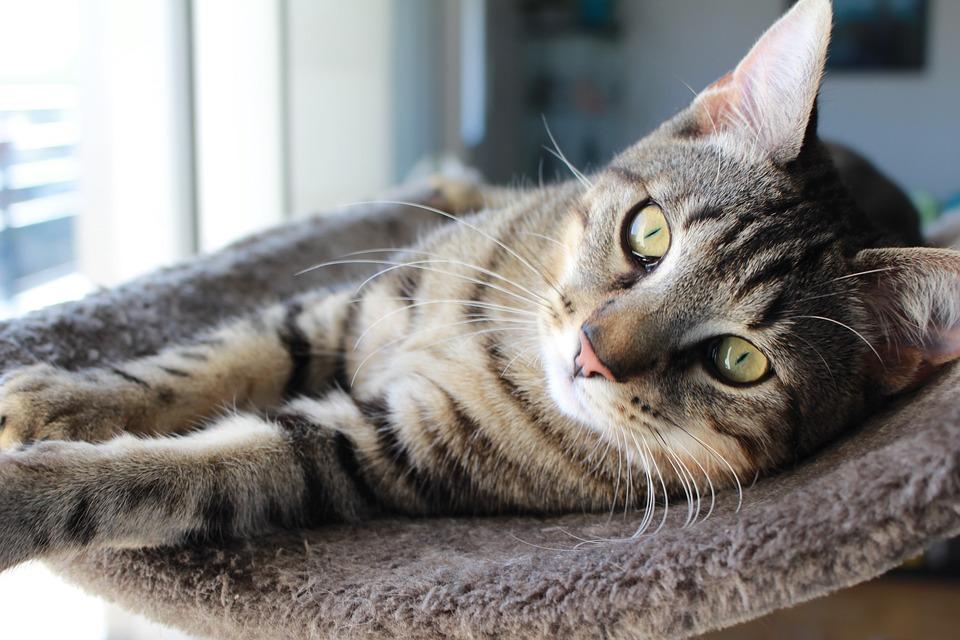 chat chaton chat gris chat tigré chat yeux jaunes