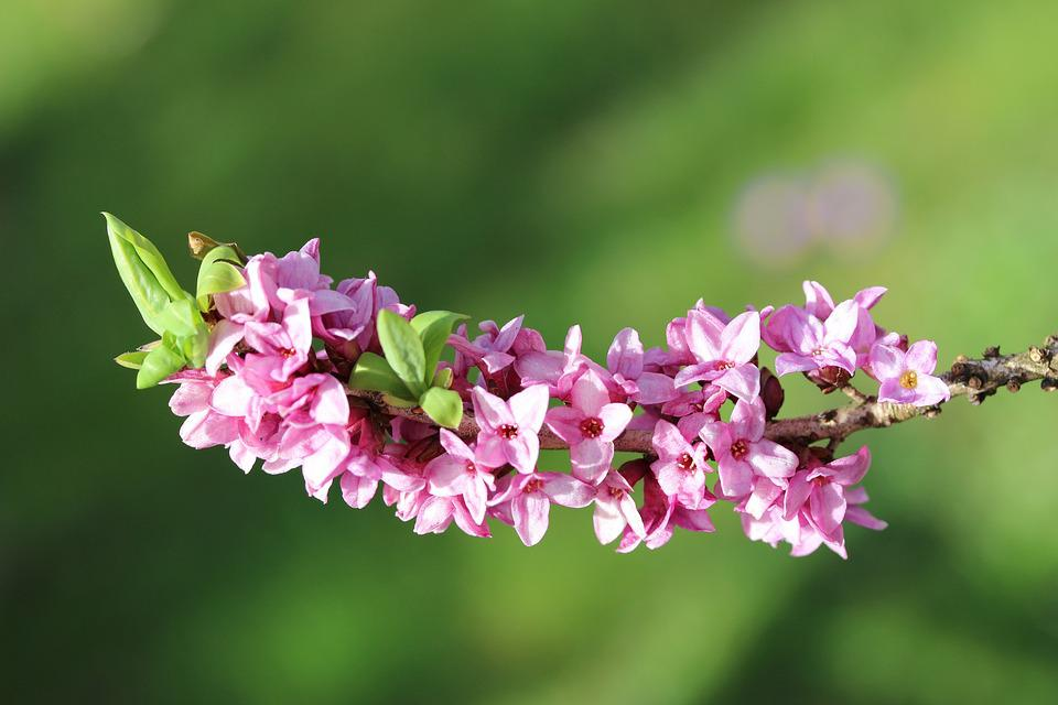 Daphne, Spring, Blossom, Bloom, Garden, Branch, Purple