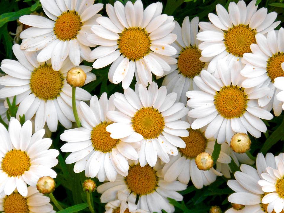Margaritas Blumen Kostenloses Foto Auf Pixabay