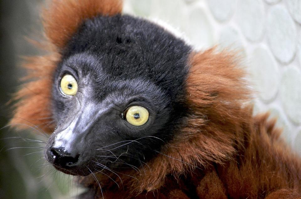 Roter Maki Lemuren Primaten - Kostenloses Foto auf Pixabay